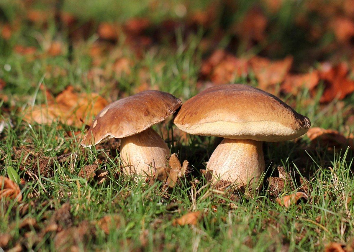 Белые грибы: сбор в 2021 году