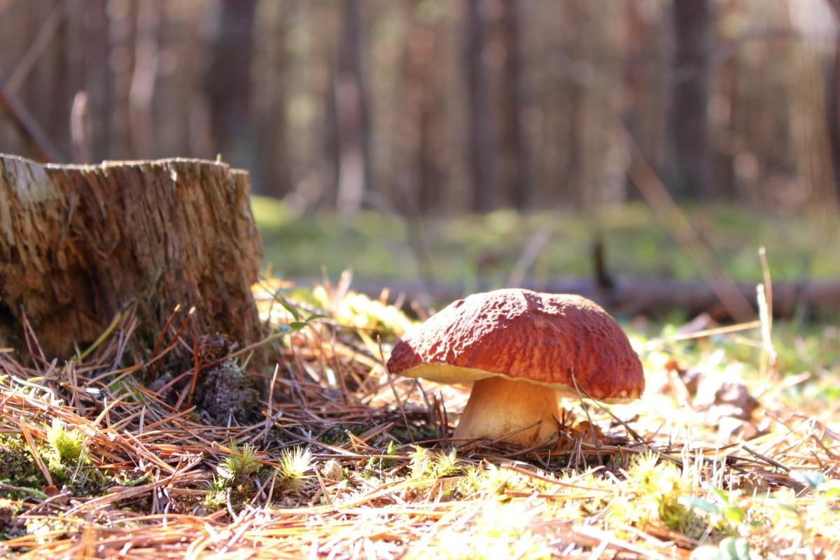 белый гриб выращивание в домашних условиях - самый простой способ