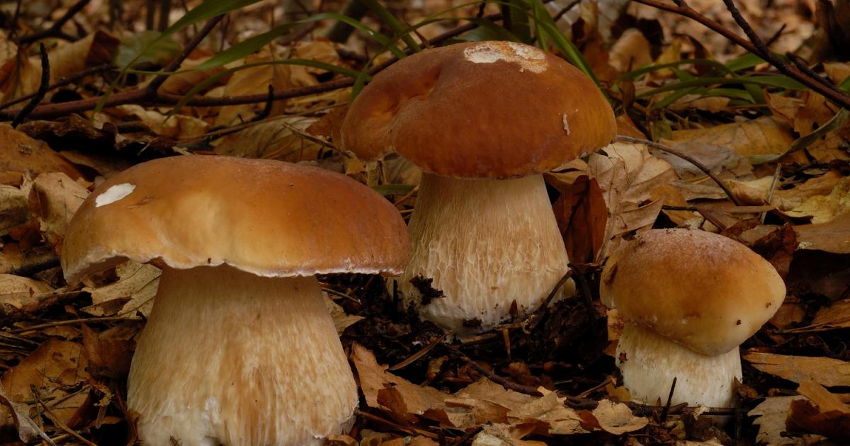 описание гриба Боровика фото 2