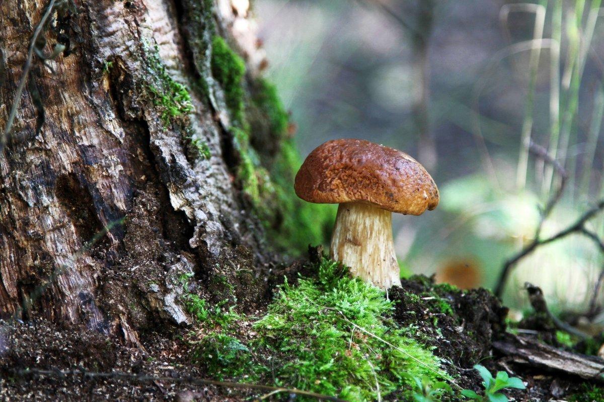 описание гриба Боровика фото 3