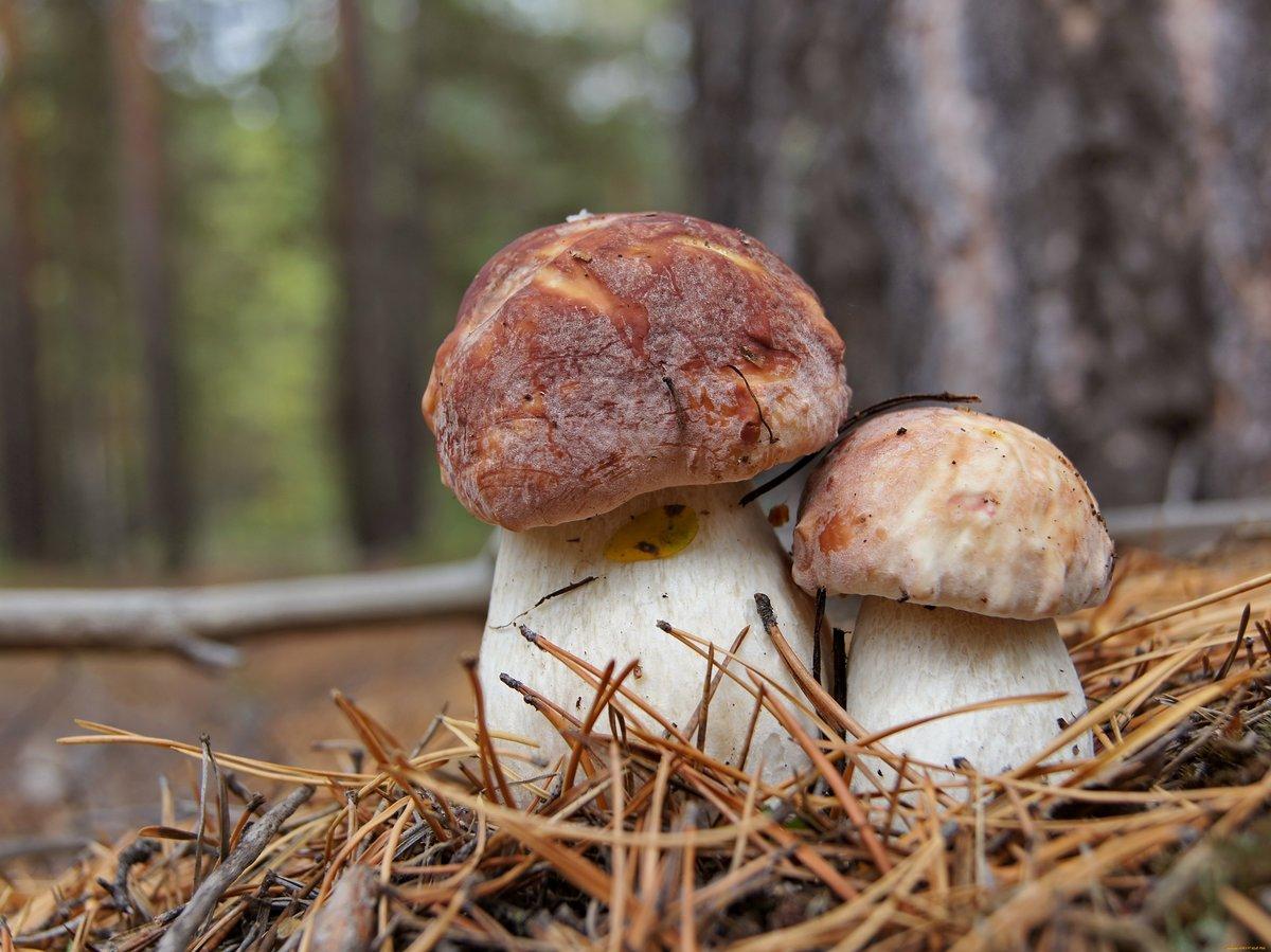 гриб боровик - как картинка в лесу фото 2