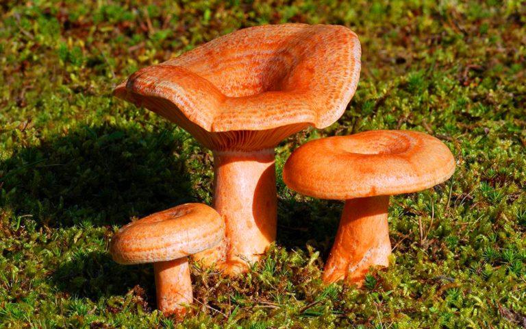 есть ли грибы в Подмосковье 2019 фото 10