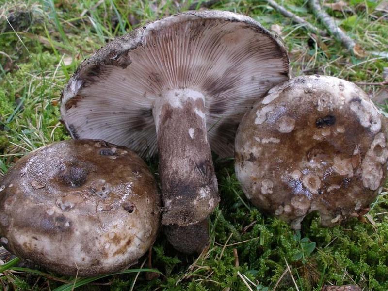есть ли грибы в Подмосковье 2019 фото 12