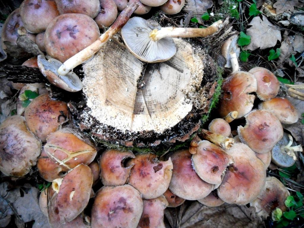 есть ли грибы в Подмосковье 2019 фото 21