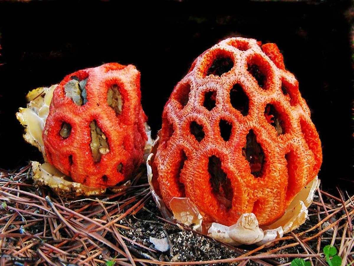 Решёточник красный - несъедобный гриб