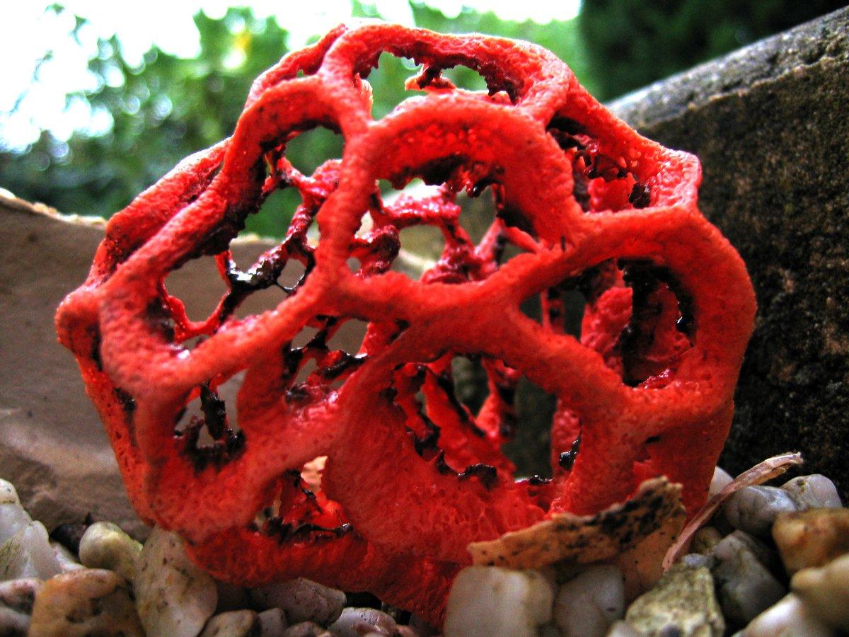 красный решёточник – гриб на фото 3