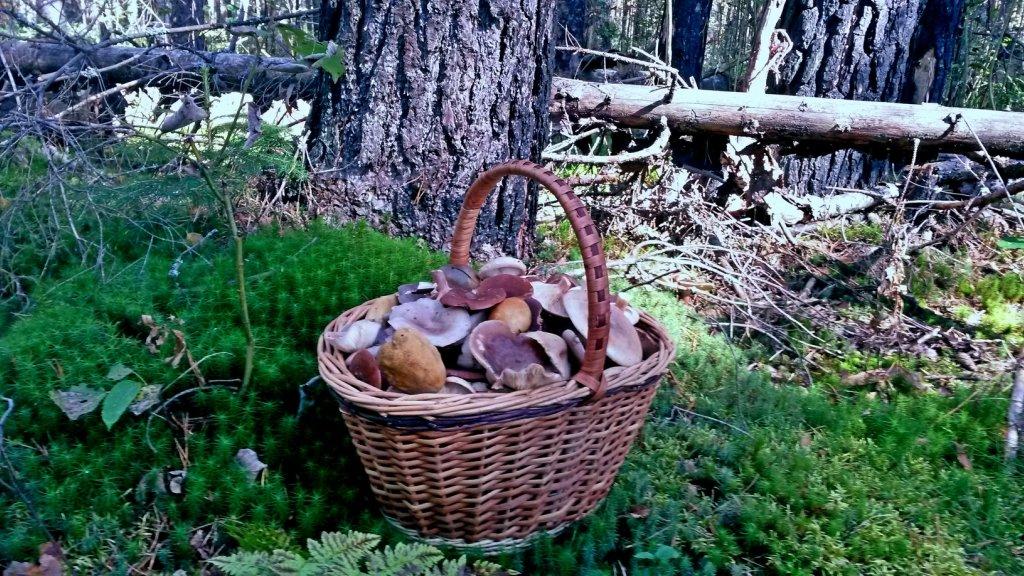Грибы в Волгоградской области съедобные. Есть ли грибы в Волгограде в 2020 году?