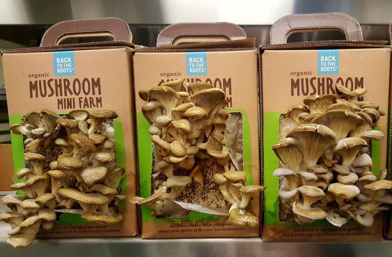 грибы в домашних условиях или грибная коробка, что это такое