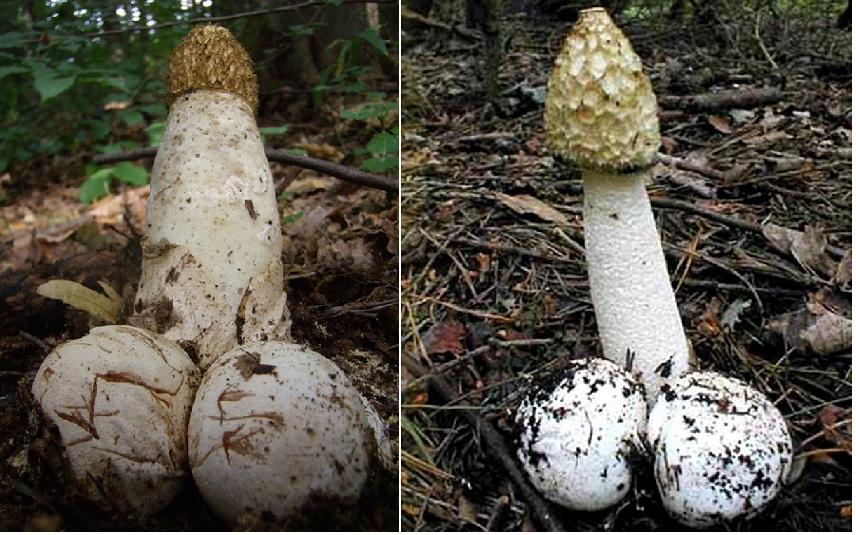 гриб Весёлка - лечебные свойства при онкологии