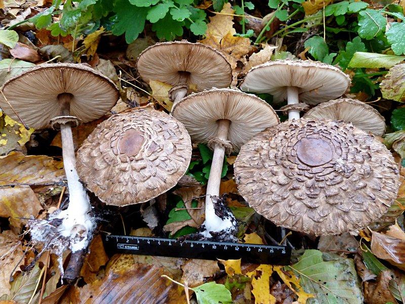 как вырастить гриб-зонтик на даче в саду