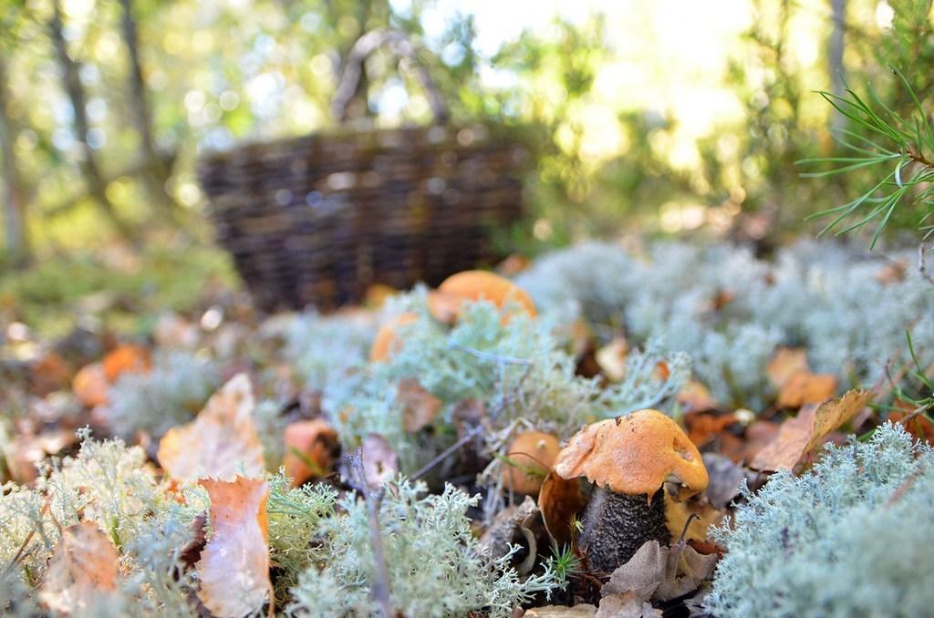 съедобные грибы в Карелии 2019, фото 1