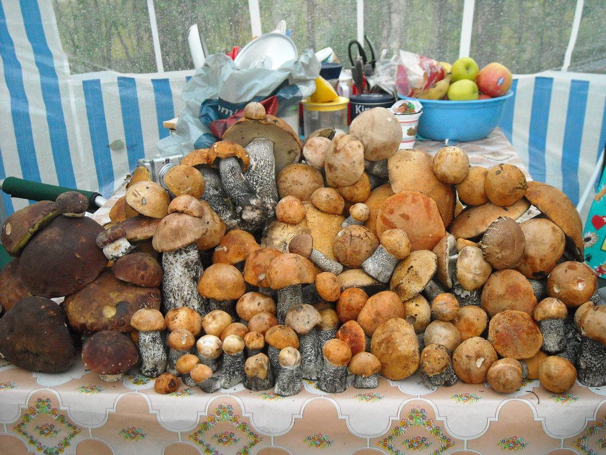 съедобные грибы в Карелии 2019, фото 2