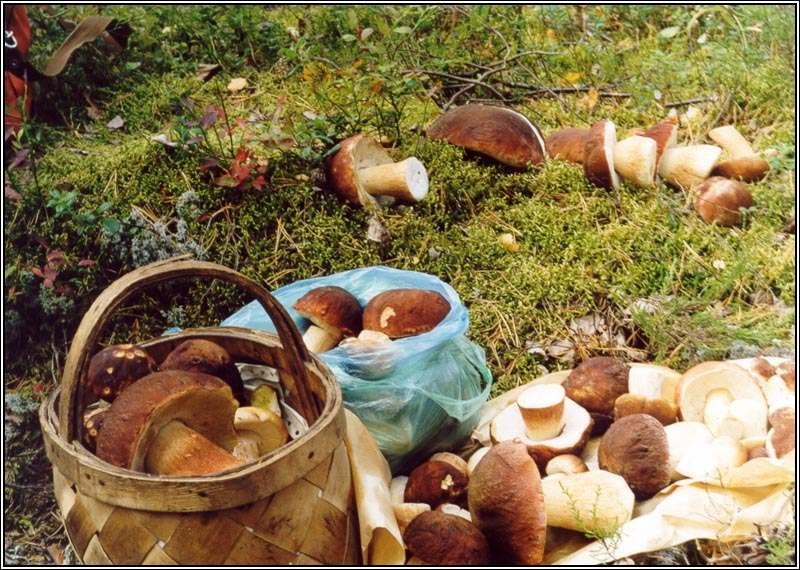 съедобные грибы в Карелии 2019, фото 9