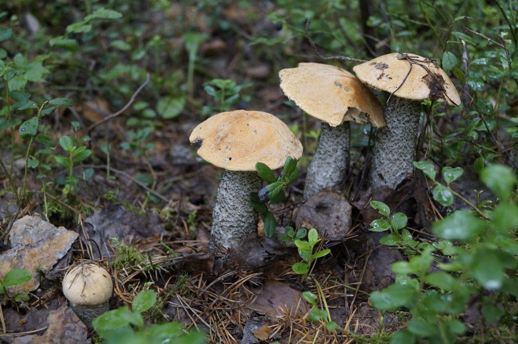 какие грибы собирать в Орле и его окрестностях фото 1