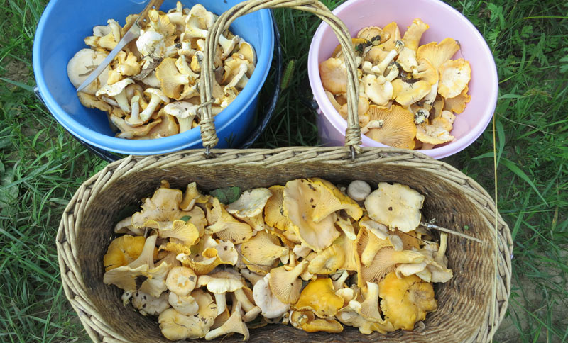 Какие грибы собирать в Орловской области в 2020 году?