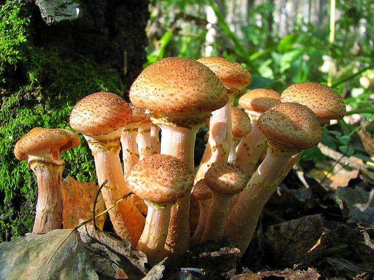 какие грибы растут в Рязани фото 10