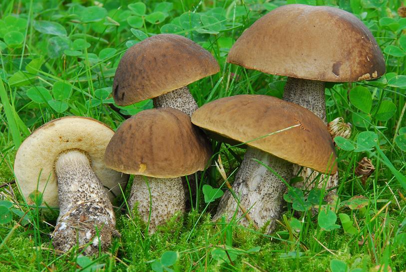 какие грибы растут в Рязани фото 3