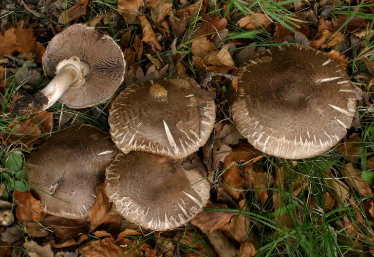 съедобные грибы фото 3