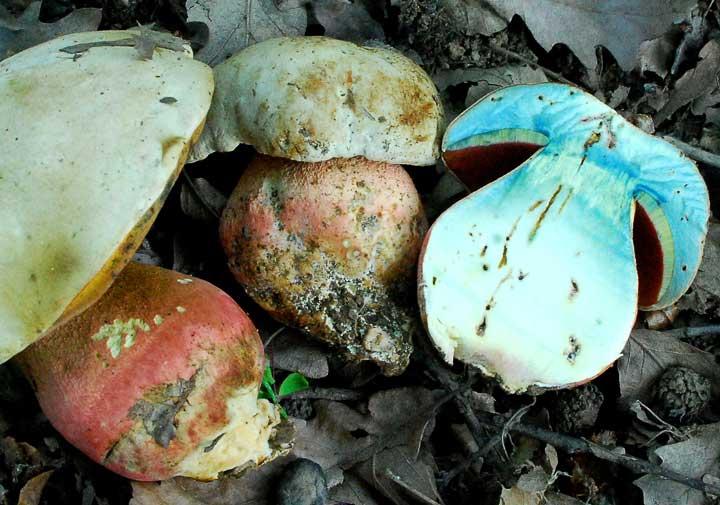 ядовитые грибы фото 3