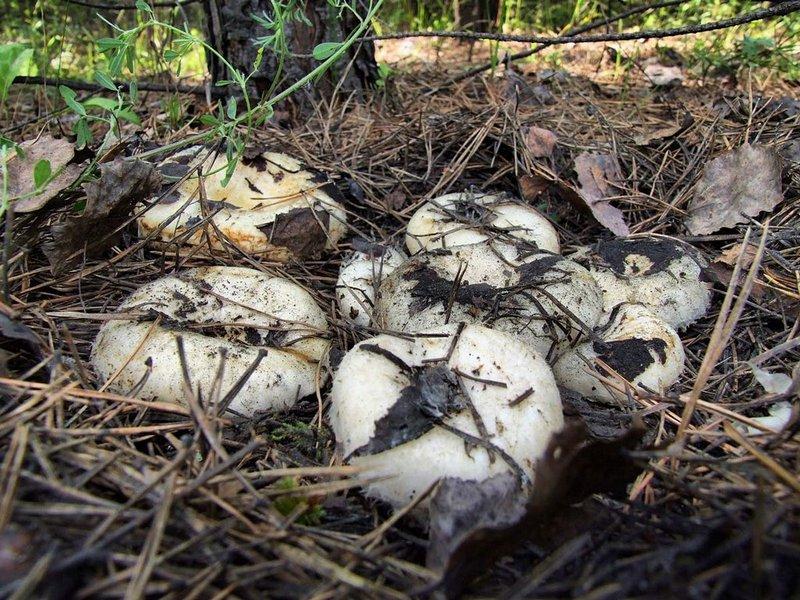 какие грибы растут в Свердловской области фото 1