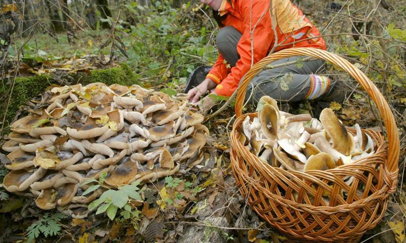 какие грибы растут в Свердловской области фото 4