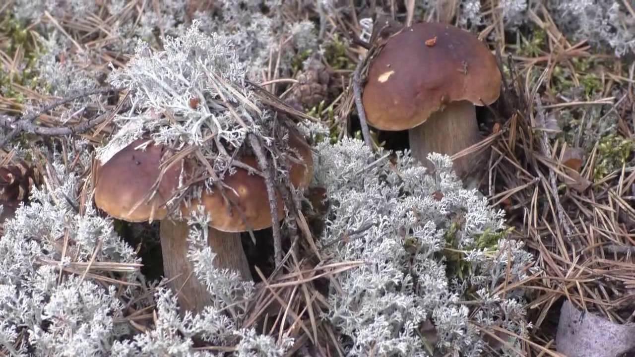 съедобные грибы фото 1