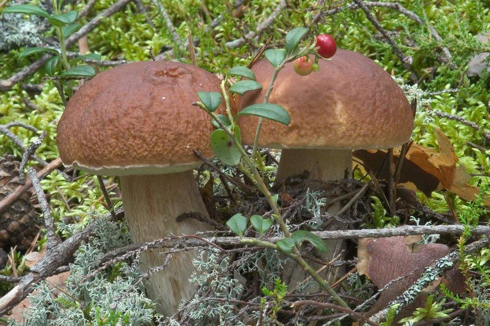 белые и польские грибы