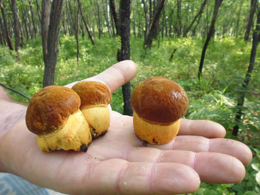 Какие грибы собирать в Приморском крае в 2020 году?