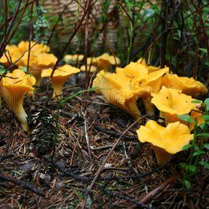 съедобные грибы фото 14