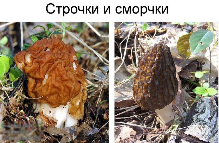 весенние грибы фото 3