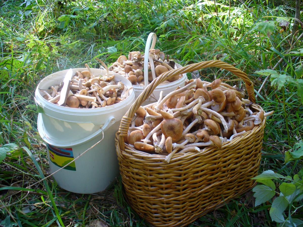 весенние, летние и осенние опята 2019, где растут в Липецкой области