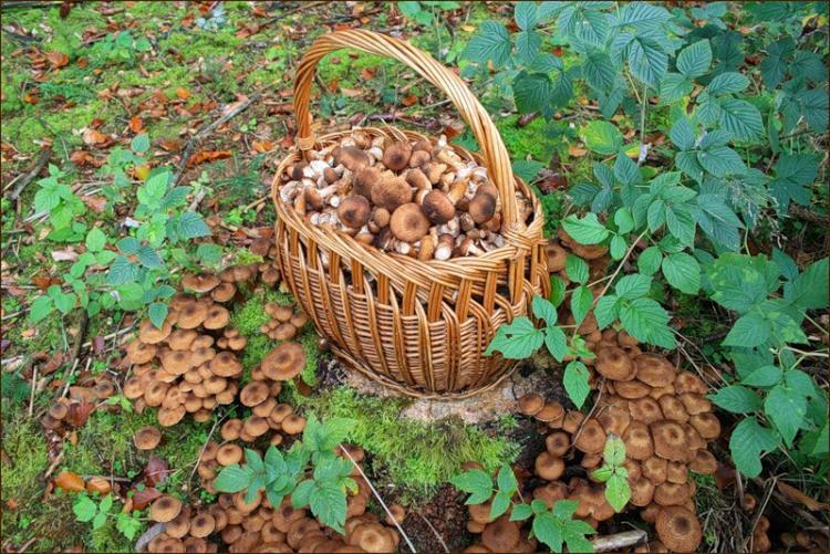 опята в Липецкой области 2019, фото урожая и отзывы 1