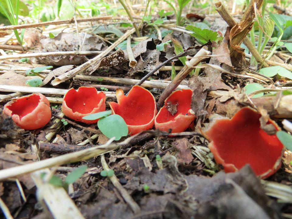съедобные и несъедобные весенние грибы 2019, описание на фото 2
