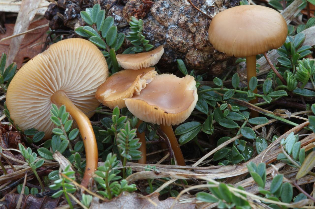 стробилюрус черенковый и съедобный фото 1