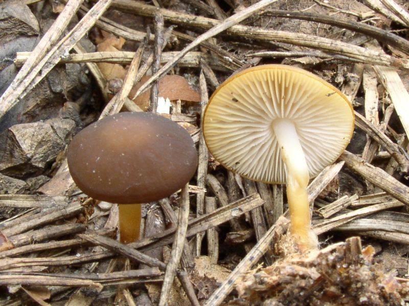 стробилюрус черенковый и съедобный фото 3