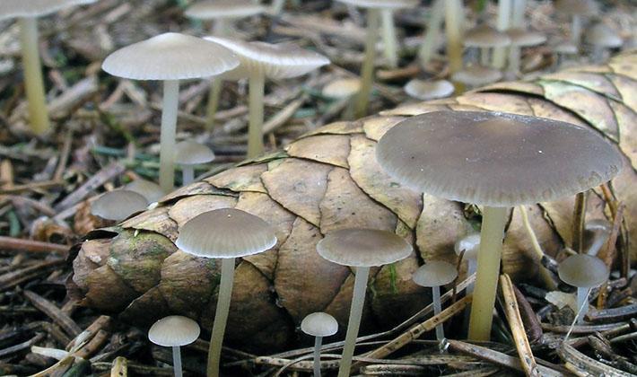 ксеромфолина - весенний гриб