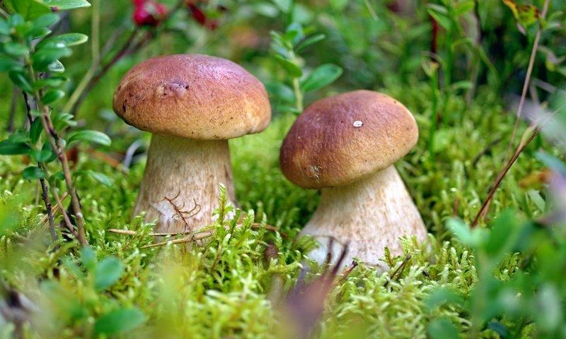 белые грибы, описание + фото 1