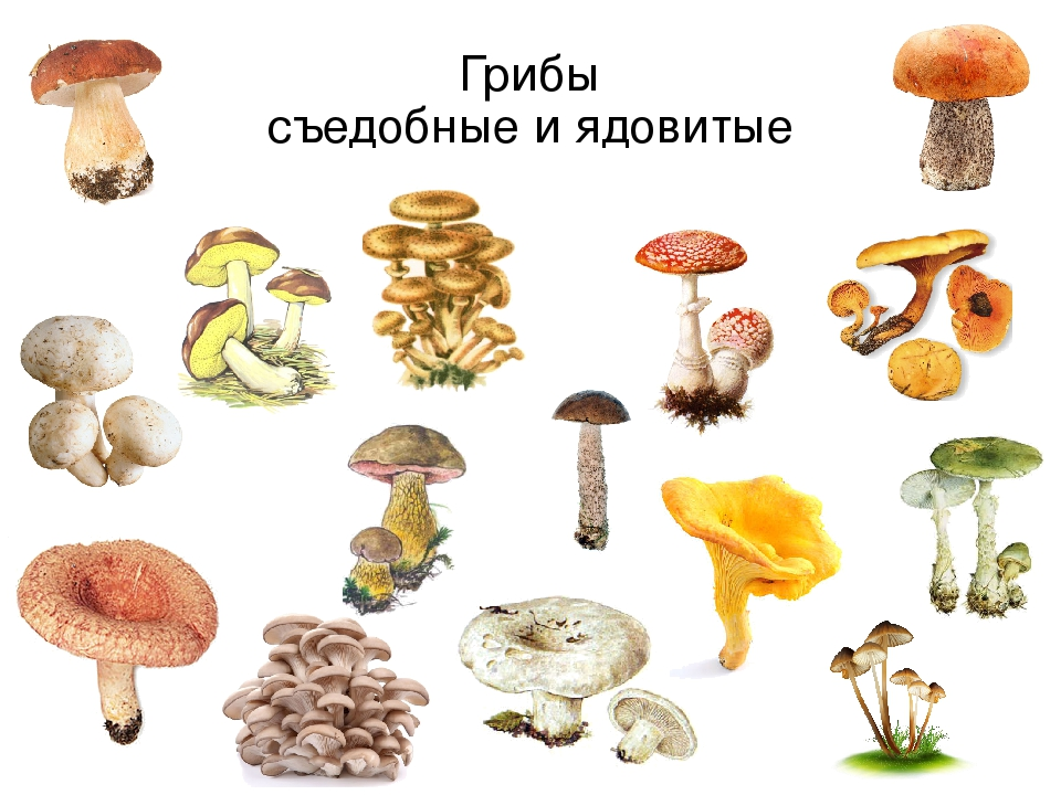 Картинки съедобные и несъедобные грибы с названиями