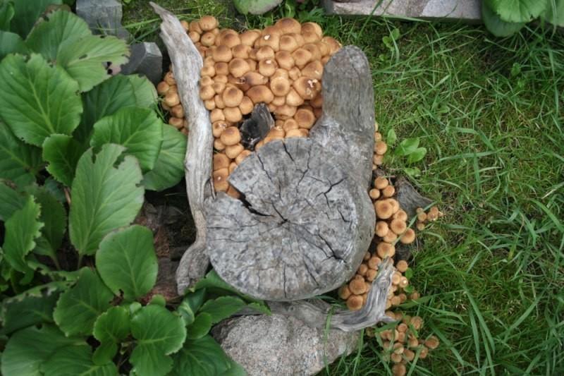 способы выращивания опят для новичков в домашних условиях