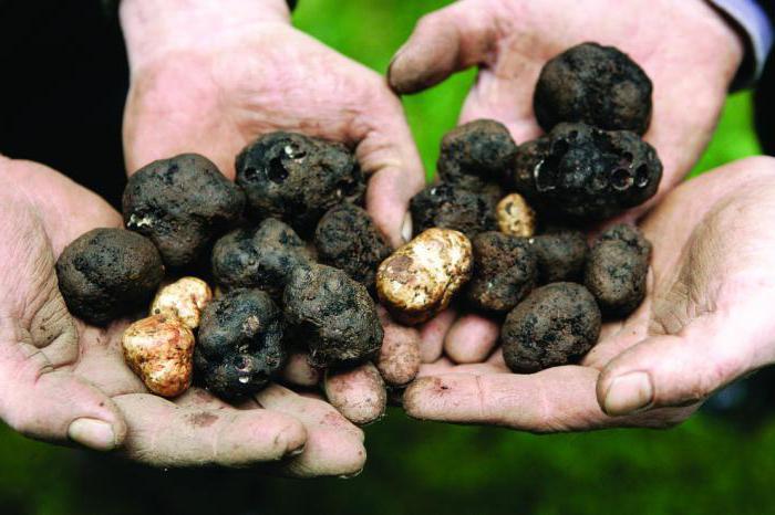 Как вырастить трюфели в домашних условиях?