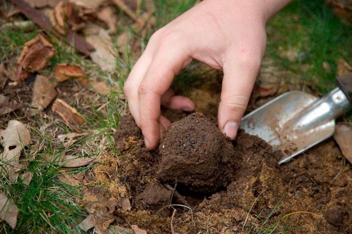 уход за трюфелями при выращивании