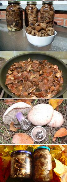 как мариновать грибы синие ножки в домашних условиях по классическому рецепту