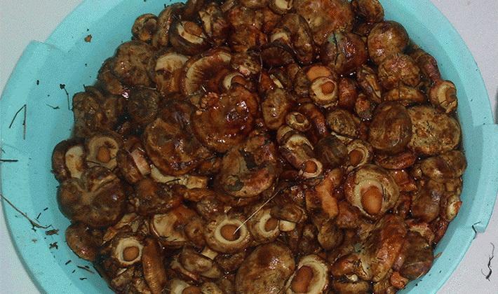 Маринованные свинушки на зиму рецепты с фото