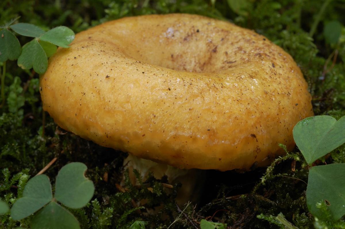 Груздь жёлтый (Lactarius scrobiculaus)