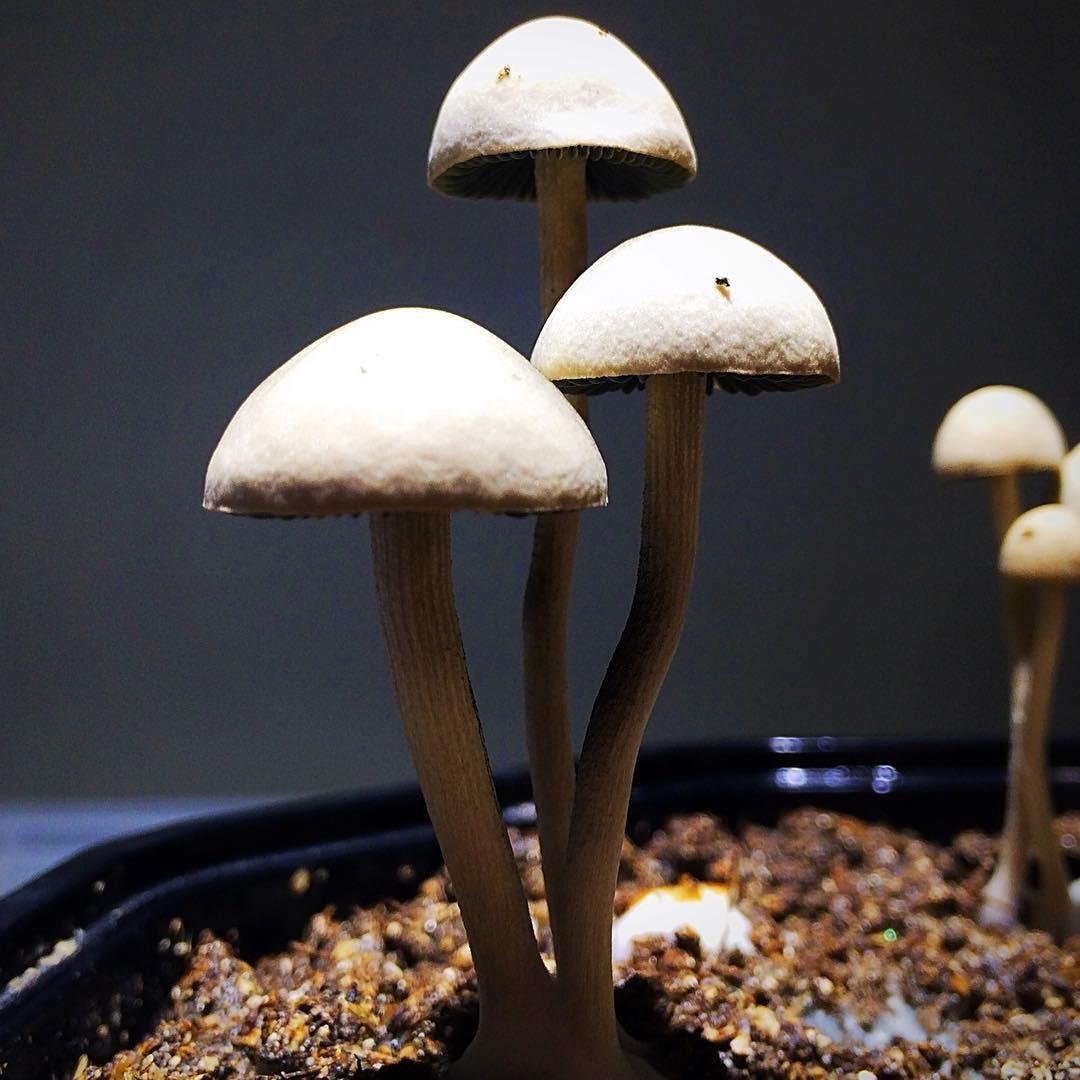 Псилоцибиновые грибы-таинственные, притягательные и опасные