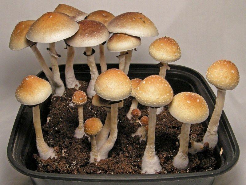 Псилоцибиновый гриб в России – запрещённый ключ к таинствам Вселенной