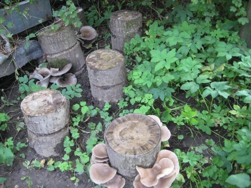 Вешенка - полезный гриб: описание, разновидности, полезные свойства и как можно вырастить в домашних условиях