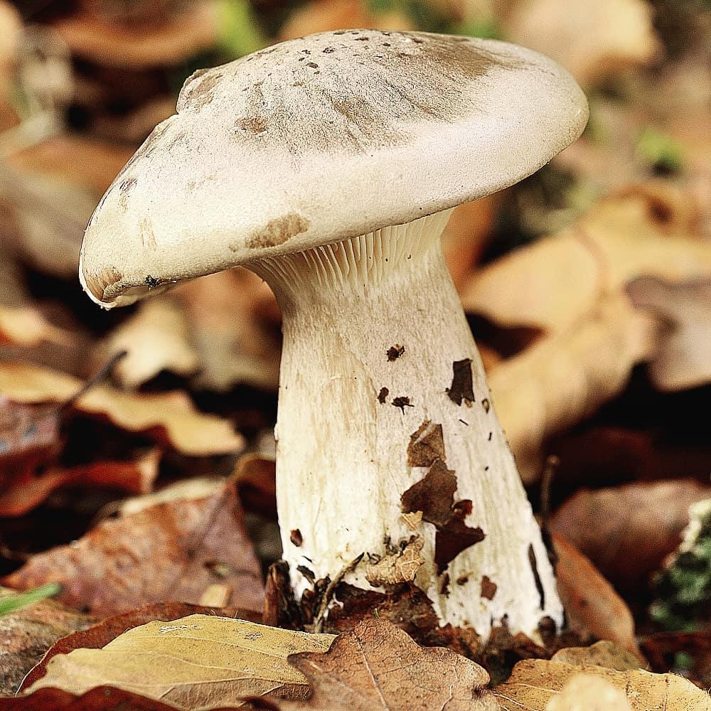 Говорушка Дымчатая – гриб, который хотел стать цветком