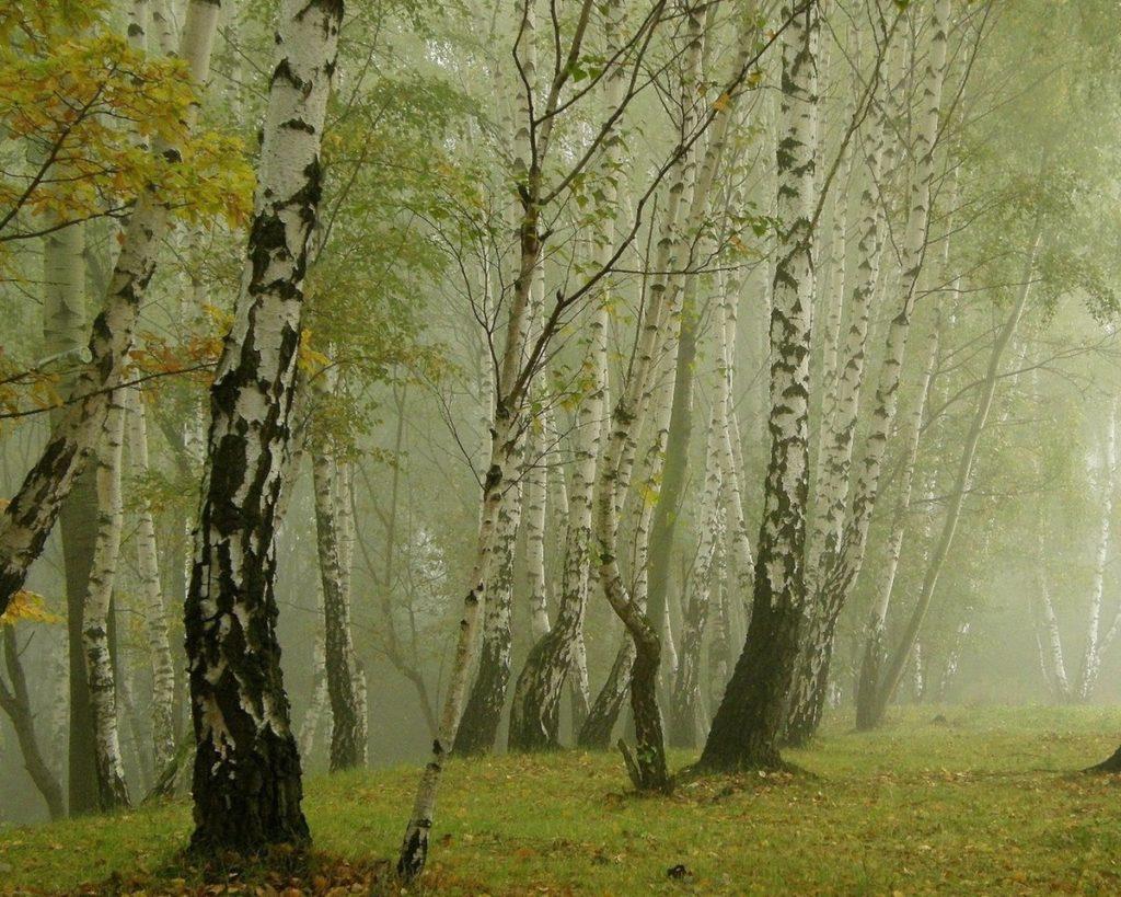 Гриб Подберезовик – сытная легенда русского леса