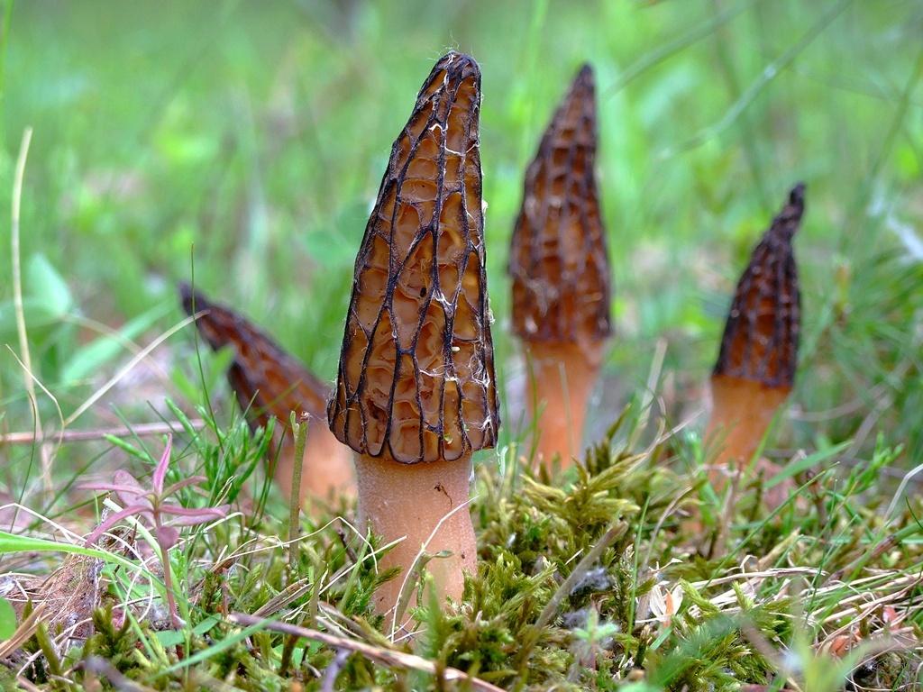 Весенний съедобный гриб – долгожданный подарок солнца